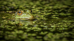 Kiss me (Jean-Luc Peluchon) Tags: fz1000 lumix wild wildlife nature animal color water eau vert green eye