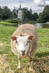 Wemmel, Jaarmarkt 2017 #50 (foto_morgana) Tags: animals belgique belgium belgië jaarmarkt2017 mammalia mammals mammifères nature outdoor sheep säugetiere wemmel zoogdieren
