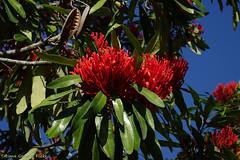 Flowering tree: Queensland waratah (Alloxylon flammeum) (Tatters ✾) Tags: australia brisbane mcbgb mtcoottha coottha redflowers redarfflowers redarffs alloxylonflammeum alloxylon treewaratah queenslandwaratah waratah arfp proteaceae mcbgbarfp qrfp tropicalarf arfflowers