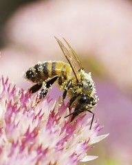 Abeille domestique - Honey bee (O. Levasseur) Tags: bee flower pollen garden insect