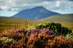 Achill, Co. Mayo. (Mark Waldron) Tags: achill mayo ireland heather mountain jupiter9 85mm f2 sony a7