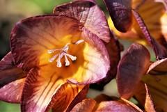 DSC_0041 : My Garden Spring 2017 (aciamax) Tags: aciamax mygarden flowers blossom bulbs hellebors spax fressias melbourne victoria australia roses camellias daffodils