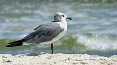 By the Sea (Suzanham) Tags: seagull gull gulfshores alabama coast gulfofmexico seashore water waves surf canonpowershotsx60hs sandy