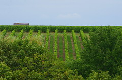 608 juillet 2017 - les vignes vues depuis le château de Chinon (paspog) Tags: chinon loire france valdeloire vignoble vignes vineyard vines vin château châteaudechinon castle schloss juillet july 2017