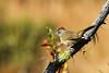 Green-tailed Towhee (Pipilo chlorurus) (Brown Acres Mark (always 2 days behind)) Tags: greentailedtowhee pipilochlorurus lifelist cascademountains jacksoncounty oregon usa markheatherington