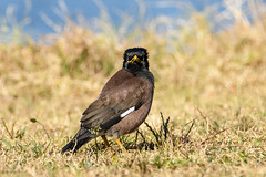 Indian Myna Bird (Merrillie) Tags: indianmyna myna wildlife bird nature australia birds fauna animals brown woywoy newsouthwales animal