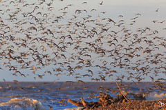 On the beach (alain_did) Tags: oiseaux nature amazonie guyane yalimapo tamronsp150600mmf563 canon6d multitude amériquedusud
