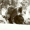 Kittys =^_^= (m600ise) Tags: walksaroundthecity чбпрогулки чбмосква bwпрогулки instacat bnw чб любовь bnwmoscow одиншаг catslover кототрах onestep кисы bw cat bwphoto kitty bwmoscow киса sepia cats instagramcats sepiatone