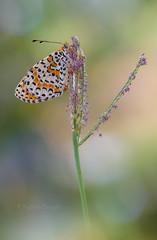 Melitaea didyma (Raffaella Coreggioli ( fioregiallo)) Tags: natura insetti fioregiallo2009 fioregiallo fotografia farfalle flora fiori fioregiallophoto macro nikon melitaea