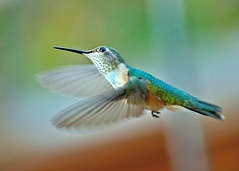 poetry in motion (she, myself and eye) Tags: eechillington nikond90 corelpaintshoppro viewnx2 hummingbird nature