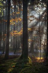 Fairies Playground (der_peste) Tags: sun sunrays sunbeam sunbeams tree leaves fall autumn light backlight raysoflight rays mist fog misty foggy forest woodland timberland timber
