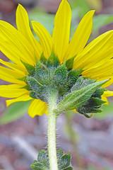 CAD0015564a (jerryoldenettel) Tags: 170602 2017 asteraceae asterales asterids commonsunflower helianthus helianthusannuus nm sanmiguelco trujillohill flower wildflowersunflower