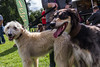 Teddy and his friend, Tanner (Julia Livesey) Tags: dogs uptoncountrypark dorsetdogs longdog tanner teddy salukigreyhound lurcher poole england unitedkingdom gb