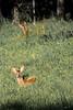 Relax (mbeo) Tags: caprioli mbeo controllo riposo natura selvaggina mergoscia verzasca resting control wildlife relax