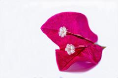 Explored on 25th August 2017 (kumherath) Tags: kumariherathphotography canon5dmark3 canonef100mmf28lisusm macromondays high key petals flower