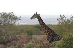 20170613_0014_Masai Mara_Girafe Masai (fstoger) Tags: kenya masaimara viesauvage wildlife safari girafe girafemasai masaigiraffe afrique africa