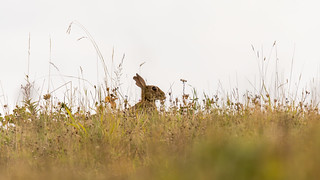 Rabbit (Oryctolagus cuniculus) in British meadow