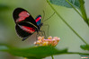 Laparus Doris Butterfly (Classicpixel (Eric Galton) Photography Portfolio) Tags: butterfly insect papillon chenille caterpillar leaf leaves feuille nikon d100 ericgalton classicpixel carletonuniversity butterflyshow wing ailes macro tropical tropiques laparusdoris