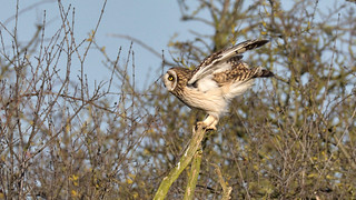 Short-eared Owl (image 1 of 3)