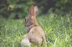 (Evangelina M) Tags: rabbit nature grass lapin