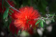 Flower (4) : Callisteme ( again :) ) (Franck Zumella) Tags: callisteme italy italie rouge red flower fleur