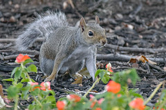 squirrel aug 3 2017 (Peeb-USA) Tags: squirrel nature wildlife fun funny awesome amazing crazy beautiful magnificent