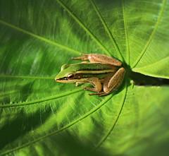 King Frog IV (Robyn Hooz) Tags: samui rana frog green leaf foglia radici roots natgeoit eyes anfibio thailand