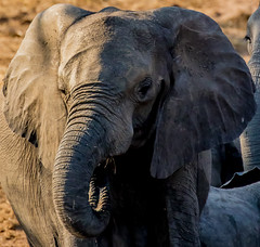 Juvenile Elephant in Late Afternoon Light (donnatopham) Tags: botswana elephants chobe