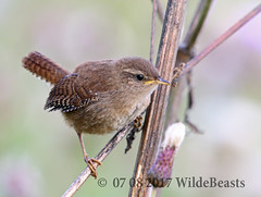 Wren from the main hide