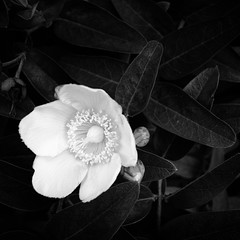 flower (s_inagaki) Tags: flower snap tokyo japan street blackandwhite bw monochrome