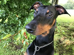 Sheltering From The Rain - Male Dobermann Pinscher Saxon - Morning Walk. (firehouse.ie) Tags: boy male saxon pinscher pinschers dobermann dobermanns doberman dobermans dobies dobie dobeys dobey dobes dobe