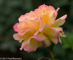 """Stem Rose """"Peace"""" (A.J. Boonstra) Tags: stemrosepeace rose closeup macro canon ef100mmf28lmacroisusm canon70d canoneos eefde flower peace stamroos roos"""
