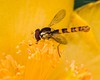 Yellow on yellow (kimbenson45) Tags: black brown closeup colorful colourful differentialfocus flower hoverfly insect macro nature outdoors plant shallowdepthoffield stamens stigma wildlife yellow