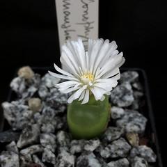 Conophytum maughanii PVB8913 '12514'