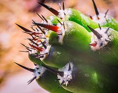 Cactus Spines (Amazing Aperture Photography) Tags: cactus cacti nikon nikond800 peruvianapplecactus spines defense selfdefense arizona desert flora plant tucson nature macro
