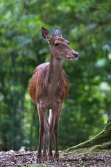 Red deer (Cloudtail the Snow Leopard) Tags: rotwild tier animalsäugetier mammal animal säugetier rothirsch edelhirsch cervus elephus red deer