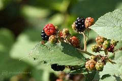 berries from nature (photos4dreams) Tags: gersprenz06082017p4d gersprenz münster hessen germany naturschutz nabu naturschutzgebiet photos4dreams p4d photos4dreamz nature river bach flus naherholung