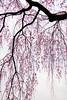 Cascading Beauty (johnshlau) Tags: cascadingbeauty cascades cascading beauty elegance tenryujitemple 天龍寺 tenryuji gardens sakura cherryblossoms cherry blossoms wind breeze zentemple zen temple worldheritagesite heritage arashiyamadistrict 嵯峨野 嵐山 arashiyama kyoto japan flowers flora nature pink spring springtime さくら 桜