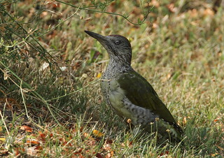 Picus viridis-European Green Woodpecker
