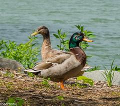 Two heads are better than one (SMPhotos2548) Tags: mallard duck bird animal groundsforsculpture nj newjersey water lake