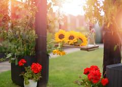 Summer Swing 🌼🌼 (KissThePixel) Tags: sunset flowers flower nikon swing garden geranium bokeh sunlight sundown august mygarden homegrown love passion gardener 50mm nikondf 14