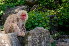 Baby monkey @ Japan (Marcel Tuit | www.marceltuit.nl) Tags: 2017 asia azië baby canon canon6d eos holland japan june juni me marceltuit may nederland nihon nippon thenetherlands vakantie aap ape azie baviaan contactmarceltuitnl eiland fareast holiday island makaak makake mei monkey nature natuur reis rondreis roundtrip sneeuwaap snowmonkey travel verreoosten vliegreis wildlife wwwmarceltuitnl