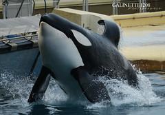Inouk ♥ (GALINETTE1208) Tags: inouk orca keijo mona wikie killer whales orque marineland mld 2017 france dolphins dauphins bow speed impressive big d5200 nikon black white baleine park