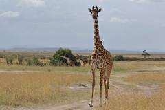 20170617_3230_Masai Mara_Girafe Masai (fstoger) Tags: kenya masaimara viesauvage wildlife safari girafe girafemasai masaigiraffe afrique africa