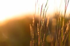 _DSC0414-2 (phatwhistle) Tags: sunrise dunegrass plants nature golden bokeh beach michigan leelanau