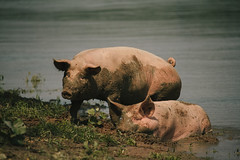Smile on Saturday#Crazy couples (Inka56) Tags: smileonsaturday crazycouples pigs river danube animal krcedinskaada muddy mud water grass