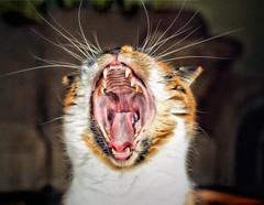 A Roaring Yawn (LupaImages) Tags: teeth yawn roar whiskers tongue cat feline mouth fur animal pet