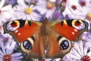 A peacock butterfly seen amongst michaelmas daisies.....