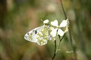 Esta mariposa, que aunque parece idéntica a otras especies de color blanco y verdosa con puntos negros, es  la Blanquiverdosa, nombre científico Pontia daplicide #enriquemalaga  #mariposa #lepidopteros #lepidoptero  #blanquiverdosa #pontiadaplicide