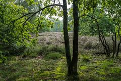 BELGIUM (in Explore) (WeVe1) Tags: heath heide nature tree inexplore willyverhulst aunaturel bruyère